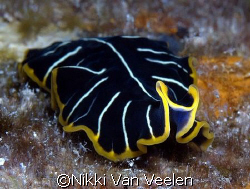 Tiger flatworm taken at Sharksbay on a night dive with E300. by Nikki Van Veelen