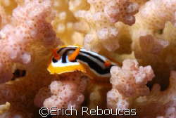 Nudi on hard coral, Sharm El Sheikh, Egypt.  Ain't that ... by Erich Reboucas