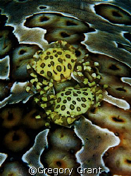 back to back on sea cucumber. d70 and 60mm by Gregory Grant