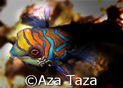 Dusk dive. Mandarin Fish. Olympus C5060.  by Aza Taza