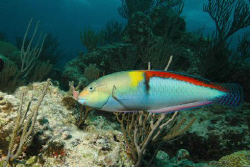 Wrasse, Bermuca, Nikon D70, 12  -24 mm lens. by David Heidemann