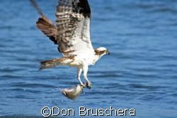 An Osprey fishes the coastline at Drakes Bay, Point Reyes... by Don Bruschera