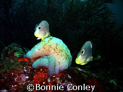 This pair of butterfly fish was seen in Tobago June 2007.... by Bonnie Conley