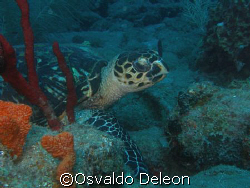 "Turtler ""Carey"" st Saba Rock. Olympus sp 350 by Osvaldo Deleon"