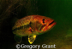 freshwater bass , south africa. by Gregory Grant