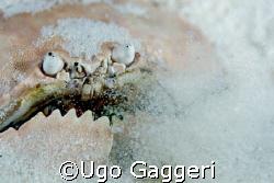 Blowing crab from Malapascua. by Ugo Gaggeri
