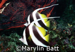 Banner Fish, on Bilikiki Nikonos V 28mm Lense by Marylin Batt