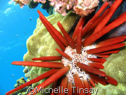 Pencil Urchin by Michelle Tinsay