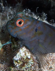 Chestnut blenny taken at Sharksbay with E300 and 50mm lens. by Nikki Van Veelen