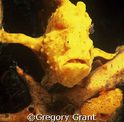two frog fish,one large one small....spot both? by Gregory Grant