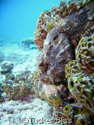 Scorpion Fish hiding during the day, Bari Reef, Bonaire by Tucker Bliss