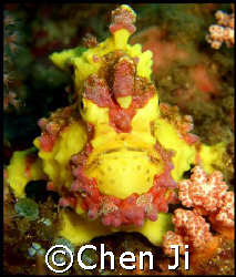 the most beautiful frogfish i have ever seen.  took thi... by Chen Ji