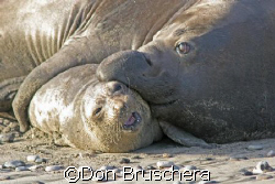 Elephant seals get amorous. Taken at Ano Neuvo State Beac... by Don Bruschera