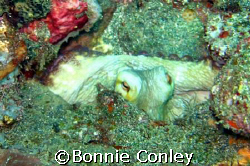 Octopus seen June 2007 in Tobago.  Taken with a Canon Pow... by Bonnie Conley