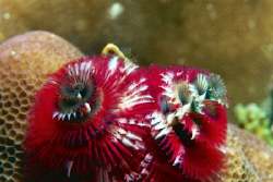 Merry Christmas.  Christmas Tree Worms.  Nikonos V 1:1 