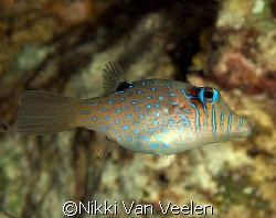 Dwarf toby taken at Sharksbay with E300. by Nikki Van Veelen