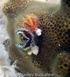 Star Horseshoe Worms, Florida Keys by Bradley Buckallew