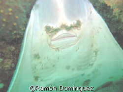 Ventral mouth of a Guitar fish at the Sea of Cortéz by Ramón Domínguez