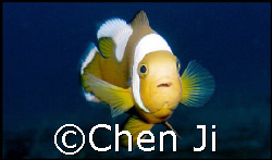 just another face of nemo.  very hard to get this shot ... by Chen Ji