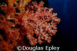soft coral taken at wakatobi nikon d70 with 12-24 by Douglas Epley