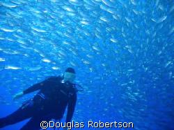Joan in a school of scad, Bari Reef, Bonaire by Douglas Robertson