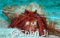a beautiful hermit crab face to me.  sabang wreck, P.G.... by Chen Ji