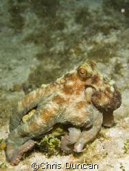 Reef Octopus shot on a night dive off Cayman Brac by Chris Duncan
