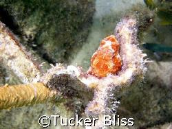 Frogfish hiding near Bari Reef, Bonaire by Tucker Bliss