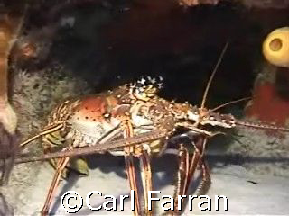 resting lobster taken in mexico by Carl Farran