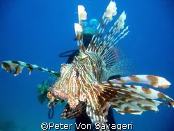 lionfish in mid water by Peter Von Savageri