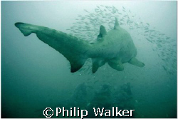 Schoolmaster - a ten + foot sand tiger shepherds a school... by Philip Walker