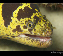 Chain Moray from Bonaire. I'm not sure if this moray has ... by Brian Mayes