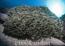 Schooling catfish. Magic point. Sydney. D200,10.5mm. by Derek Haslam