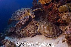 Turtles at Sipadan 2007 by Soren Egeberg