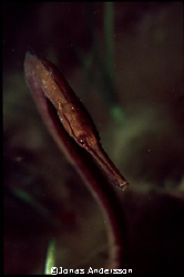 flirty snake pipefish. canon eos 300, canon ef 50mm by Jonas Andersson