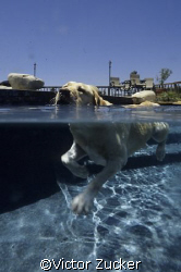 practice o/u of my labrador in our pool by Victor Zucker