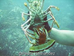 Caribbean Spiny Lobster With Eggs,Culebra Island, Puerto ... by Pedro Hernandez