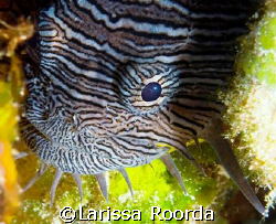 (#2 of 2) New creature for me - Splendid Toadfish, Cozume... by Larissa Roorda