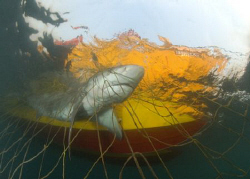 its not always pretty............bull shark taken along t... by Fiona Ayerst