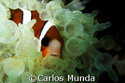 Clownfish hiding in an anemone. Tingloy, Batangas. Canon ... by Carlos Munda