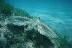 Flying Gurnard, taken in Kefalonia, Greece by Serban Virgil Ionescu