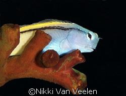 Red Sea mimic blenny taken at Quays site, Ras Mohamed Par... by Nikki Van Veelen