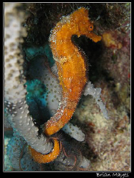 Seahorse from Bonaire. Canon G7 by Brian Mayes