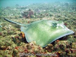 Roughtail Stingray,San Juan Harbur,San Juan Puerto Rico.C... by Pedro Hernandez