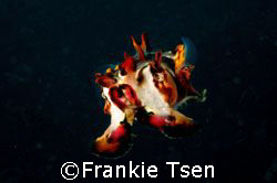 Flamboyant Cuttlefish swimming away from me. D70s, 60mm. ... by Frankie Tsen