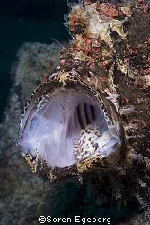 Frogfish in Kapalai, Canon 20d, 60mm macro by Soren Egeberg