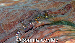 Banded Coral Shrimp at Tobago in June 2007.  Taken with a... by Bonnie Conley