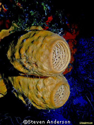 Basket Sponges on a wall dive. by Steven Anderson