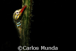 Pipefish on sea grass. Samal Island. Canon Ixus 60 by Carlos Munda