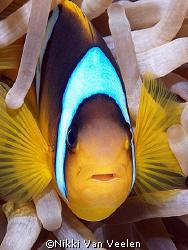 Red Sea anemonefish taken at Campsite, Ras Mohamed Park ... by Nikki Van Veelen